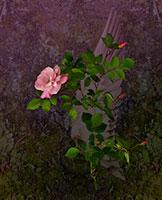 Botanical - Rose in Flight